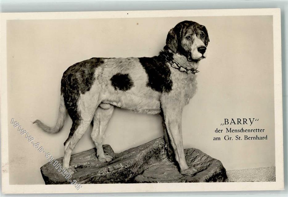 Barry der Menschenretter am Gr. St. Bernhard AK: Ansichtskarten ...