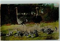 1920 Ostriches and Chicks AK  Australisches Tier
