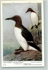 Pinguin Southern Guillemot - Pinguine - Drawn by Grönvold