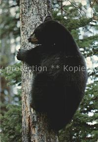 Baeren American Black Bear Yellowstone National Park  Tiere